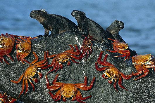 marine iguanas chillin crabs