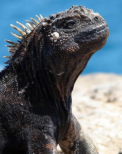 marine iguanas head