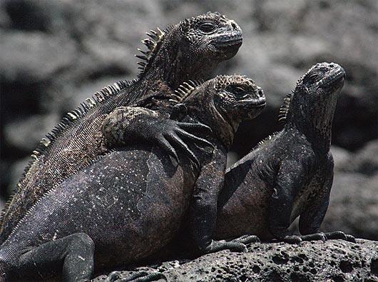 marine iguanas pals