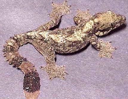 mottled flying gecko