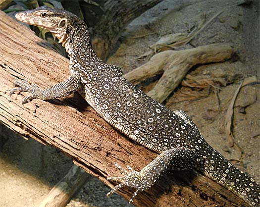 Nile Monitor - Versatile African Reptile | Animal Pictures ...