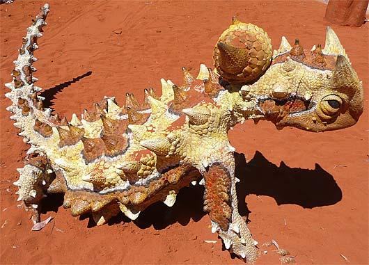 Thorny Devil Lizard - Prickly Desert Ant-Eater   Animal ...