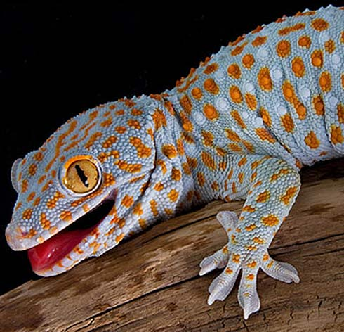 tokay gecko  animal pictures and facts  factzoo