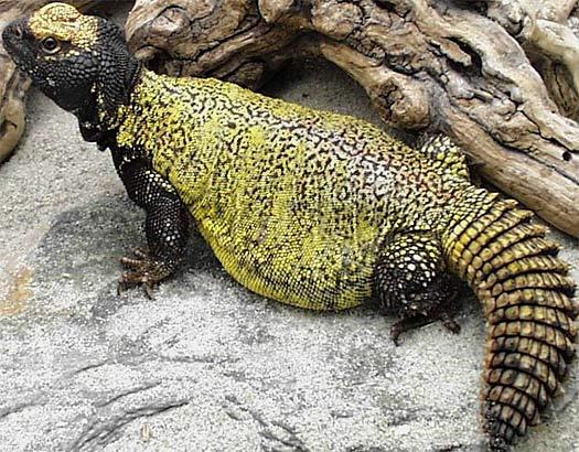 black yellow fat