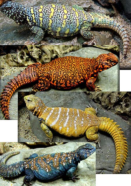 Uromastyx - Spiky-Tailed Flat, Muscular Desert-Dweller | Animal ...