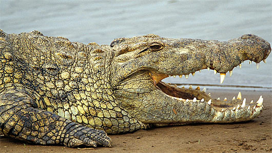 nile croc smile