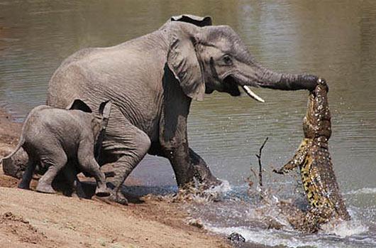 Nile Crocodile - Content to Smile as a Top Predator ...