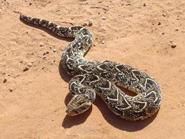 Puff Adder - Common, Dangerous, African Snake | Animal