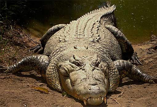 salt-water croc