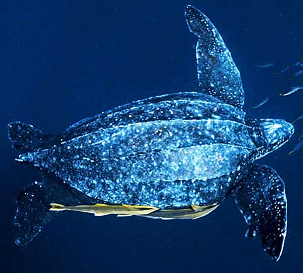 Leatherback sea turtle pictures in the water - photo#43