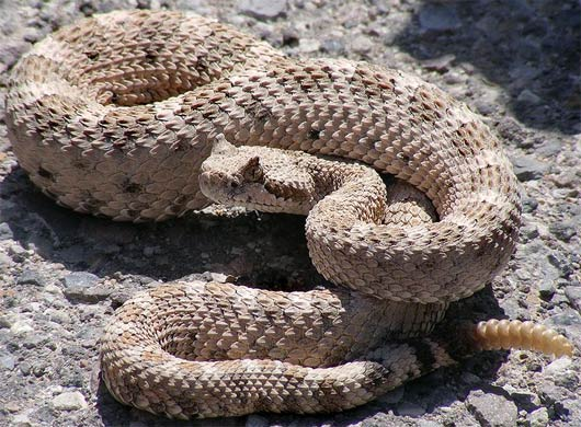 up-close sidewinder rattlesnake