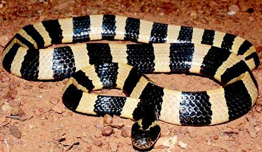 Krait Likes Water Deadly Bite Animal Pictures and Facts FactZoo
