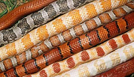 Image Result For Corn Snake Coloring