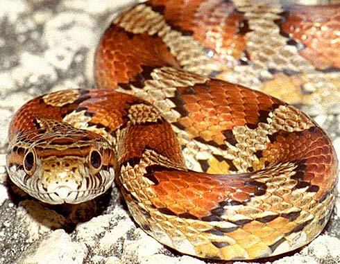 corn snake face