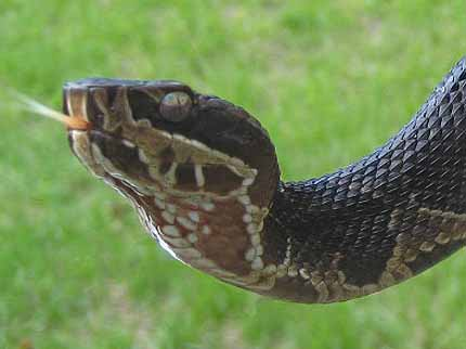 cottonmouth face