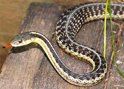 Garter Snake - Common, Friendly Looking, Slender Slitherer