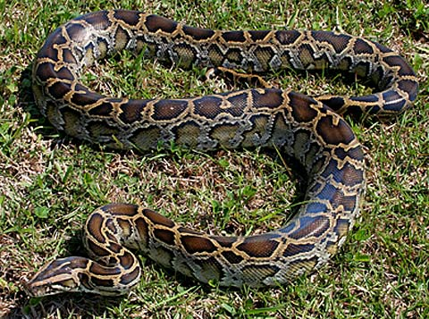 burmese python invasive species