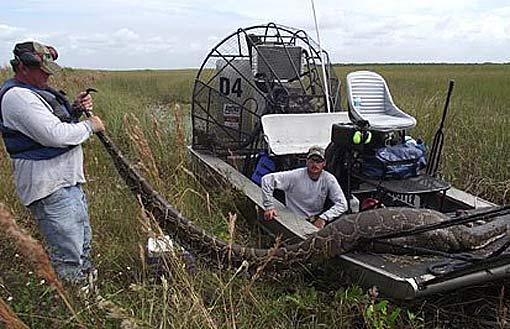 everglade caught python