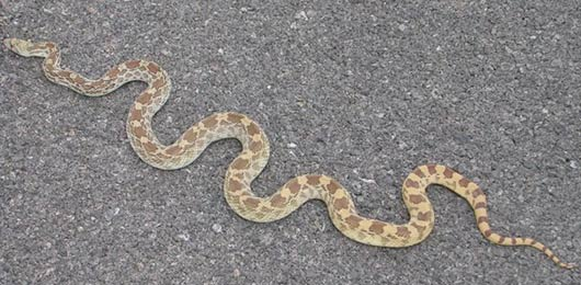 Sonoran Gopher Snake in Arizona