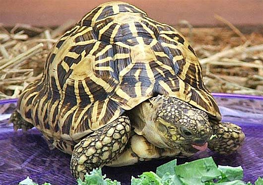 indian star tortoise salad time