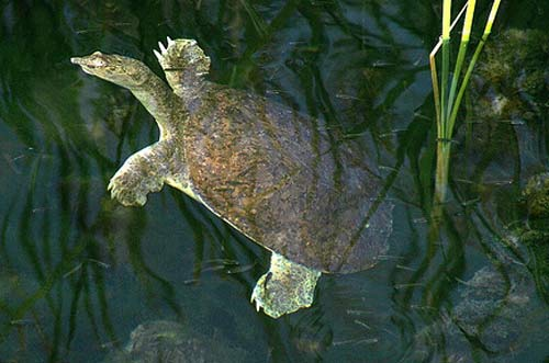 swimming spiny