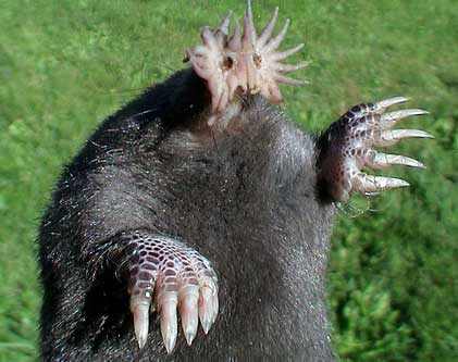 star-nosed-mole.jpg