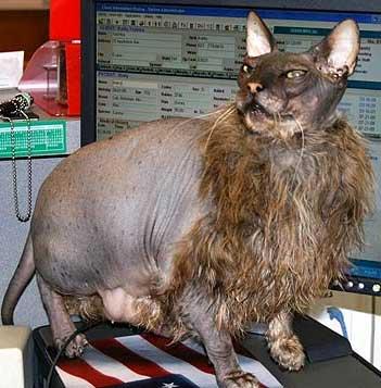 fugly cat